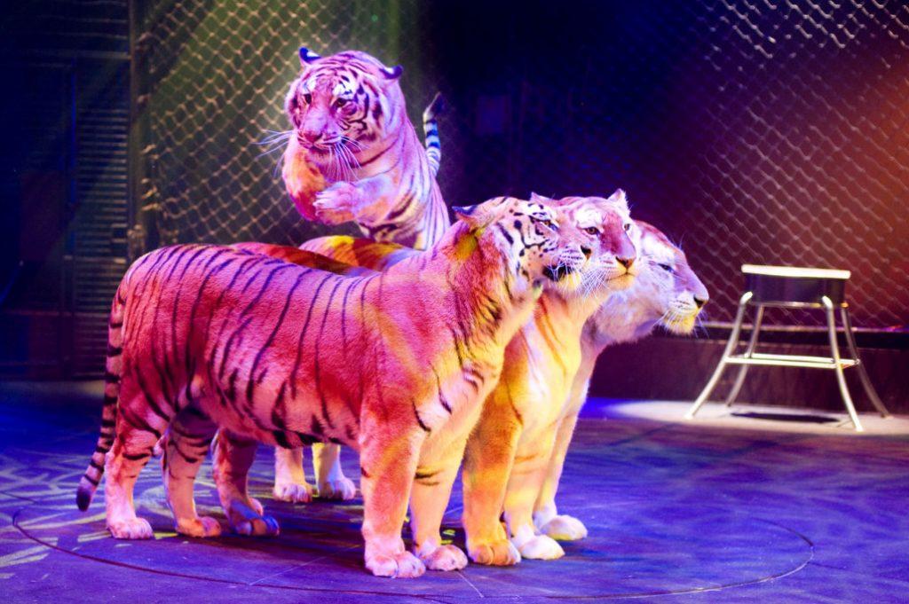 Les tigres sont figés